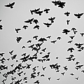 Flock Of Flying Pigeons by Photography By Ellen L. Soohoo