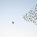 Flock Of Sturnus Vulgaris Flying by Fotofalk