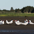 Flock Of Terns by Robert Potts