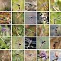 Florida Dragonflies Collage by Carol Groenen