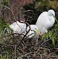 Florida Great Egrets On Nest by Carol Groenen