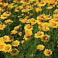 Flowerbed Of Yellow Daisies In The Summertime by Jill Lang