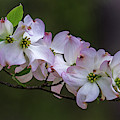 Flowering Dogwood by Jerry Gammon
