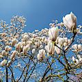 Flowering Magnolia Gresham by Arterra Picture Library
