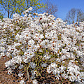 Flowering Magnolia Stellata by Arterra Picture Library