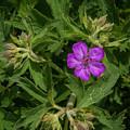 Flowerworks - Wild Geranium  by Matthew Irvin