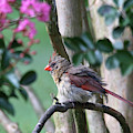 Fluffy Female Cardinal by Trina Ansel