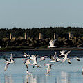 Flying Terns by Robert Potts