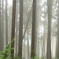 Foggy Forest by Karen Zuk Rosenblatt