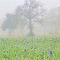 Foggy Morning Texas Bluebonnets by Dan Sproul