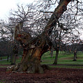 Four Hundred Year Old Sweet Chestnut Tree In Greenwich Park by Aidan Moran