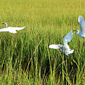 Four Snowy Egrets In Flight by Bruce Gourley