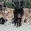 Four Timber Wolves by Les Palenik