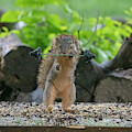 Fox Squirrel Lifting Wights With One Hand by Dan Friend