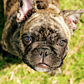 French Bull Dog by Rob D Imagery