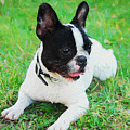 French Bulldog Puppy In The Grass - Painted by Ericamaxine Price