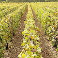French Vineyards Of The Champagne Region by Victor Lord Denovan