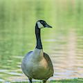 Friendly Goose by Jonathan Hansen