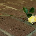 Friendship Rose by Dawn Celeste