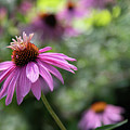 Frilly Hat Echinacea by Marilyn Cornwell