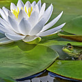 Frog And Lily by Elaine Somers
