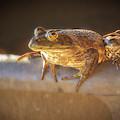 Frog In A Pail by Jean Noren