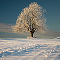 Frosty Oak Tree by By Sigurd Rage