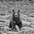 Frowning Coastal Brown Bear In Monochrome by Mark Hunter