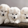 Funny Puppies Of Samoyed Dog Or Bjelkier by Liliya Kulianionak