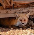 Furtive Fox by Steve Krull