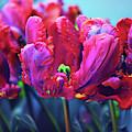 Tulip Rococo by Jessica Jenney