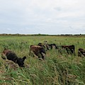 Galloway Cows On Texel North Holland by Chani Demuijlder
