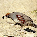 Gambel's Quail Dance by Maria Jeffs