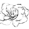Gardenia Paint My Sketch by Delynn Addams