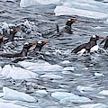 Gentoo Penguins By Alan M Hunt by Alan M Hunt