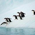 Gentoo Penguins On Iceberg, Antarctic by Eastcott Momatiuk