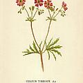 Geranium Tuberosum by Hulton Archive