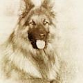 German Shepherd 3 - Drawing by Ericamaxine Price