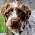 German Wirehaired Pointer  by Kae Cheatham