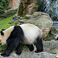 Giant Panda by Arterra Picture Library