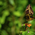 Giant Swallowtail Butterfly by Blair Howell