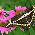 Giant Swallowtail Papilo Cresphontes by Dave Welling