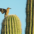 Gila Woodpecker 8093-042519 by Tam Ryan