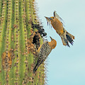 Gila Woodpeckers 6490-061319 by Tam Ryan