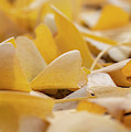 Ginkgo Biloba Leaves by Jonathan Hansen