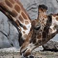 Giraffe Duo by David Resnikoff