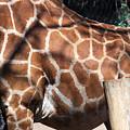Giraffe Pattern by David Resnikoff