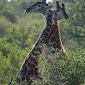 Giraffes Together by Mark Hunter
