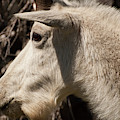 Glacier Mountain Goat Close-up by Bruce Gourley