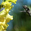 Gladiolus And Hummingbird by Robert Potts